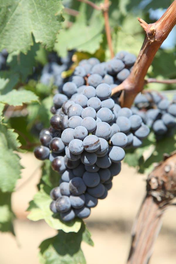 Blauwe druiven royalty-vrije stock fotografie