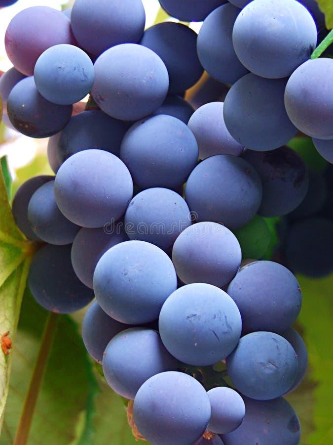Blauwe druiven stock foto