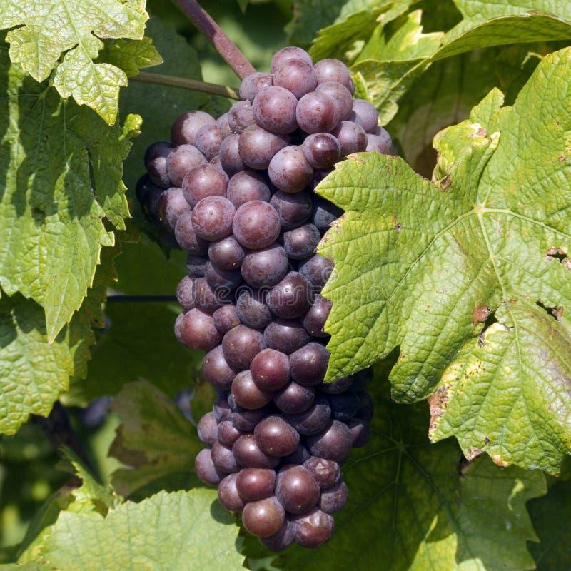 Blauwe druiven in de recente herfst royalty-vrije stock foto's
