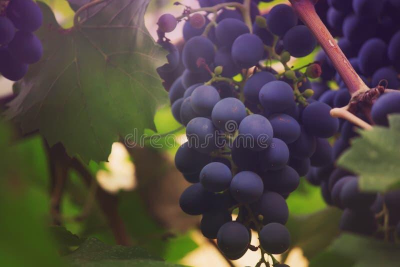 Blauwe druiven op de wijnstok, wijnverscheidenheid in de wijngaard, de zomer natuurlijke achtergrond, selectieve nadruk stock fotografie