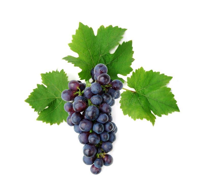 Blauwe druivencluster met bladeren royalty-vrije stock fotografie