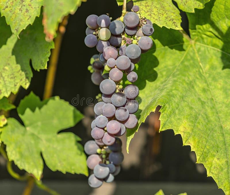 Blauwe druivencluster op de foto van de wijnstokclose-up stock foto
