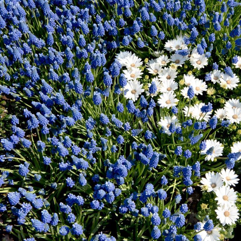 Blauwe druivenhyacinten, witte anemonen stock fotografie
