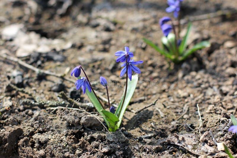 Blauwe eerste de lentebloemen Vroege bloemen stock fotografie