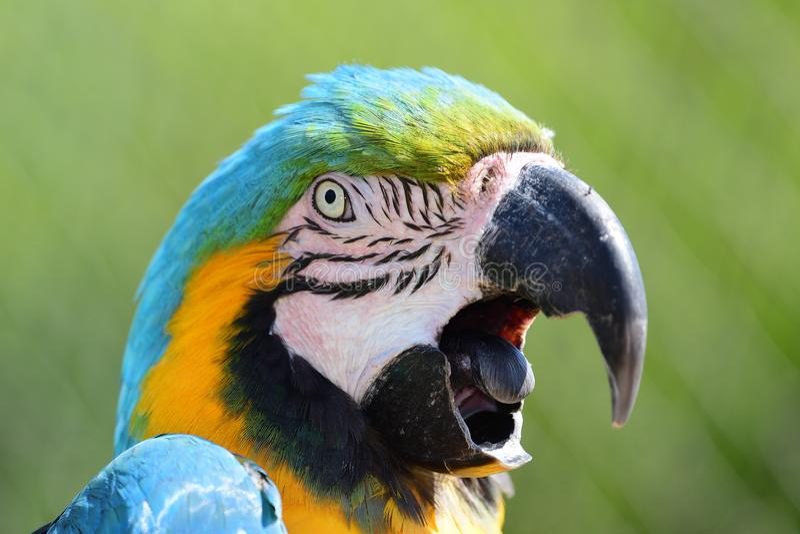 Blauwe en Gele Ara royalty-vrije stock fotografie