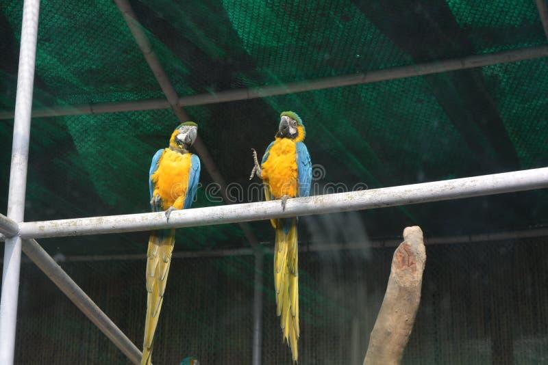 Blauwe en gele ara bij de dierentuin van Delhi stock afbeeldingen