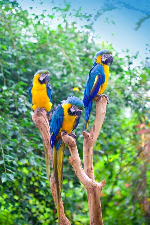 Blauwe en gele ara die op boomstompen wordt neergestreken stock afbeelding