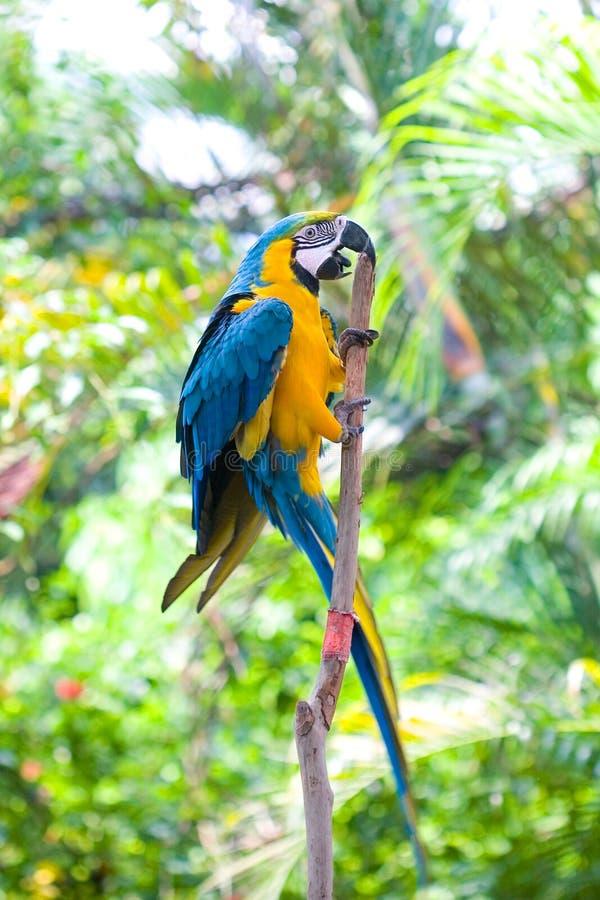 Blauwe en gele ara die op een tak beklimmen stock foto's