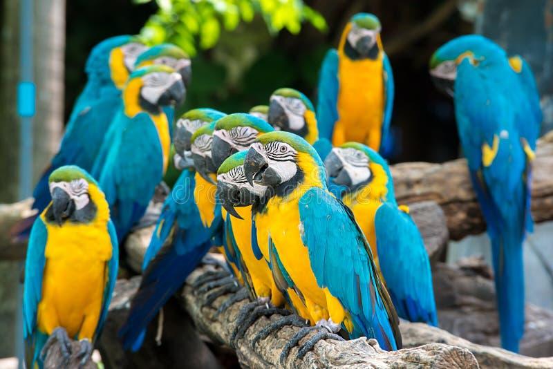Blauwe en gele aravogels die op houten tak zitten stock foto