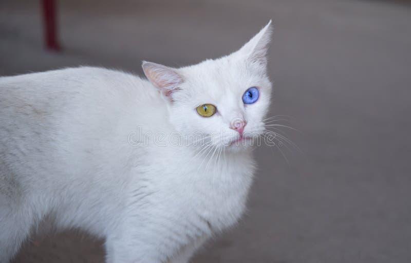 Blauwe en Gele eyed kattenextravagantie stock foto