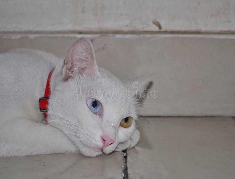 Blauwe en gele eyed witte kat die op de vloer liggen stock afbeelding