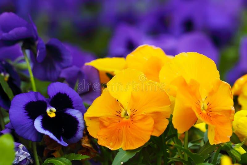 Blauwe en gele heartsease, close-up stock afbeeldingen