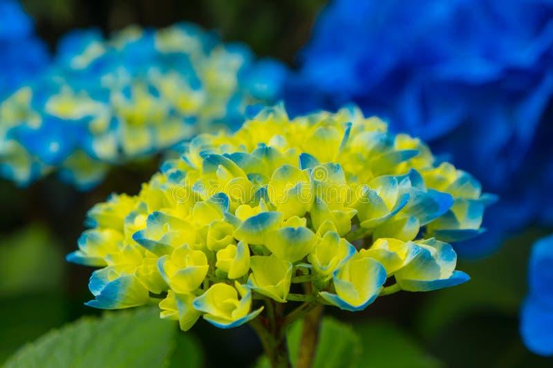 Blauwe en gele Hydrangea hortensia royalty-vrije stock afbeelding