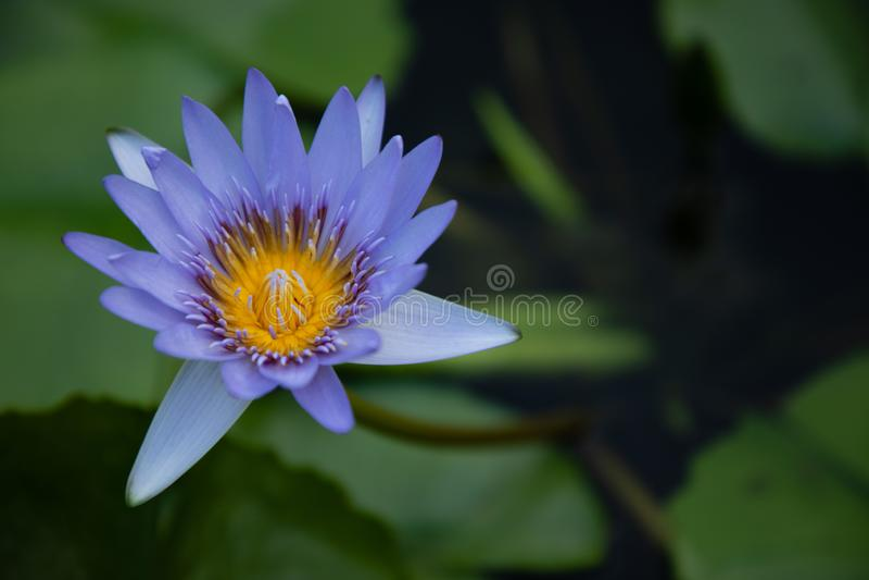 Blauwe en gele lotusbloembloem royalty-vrije stock fotografie