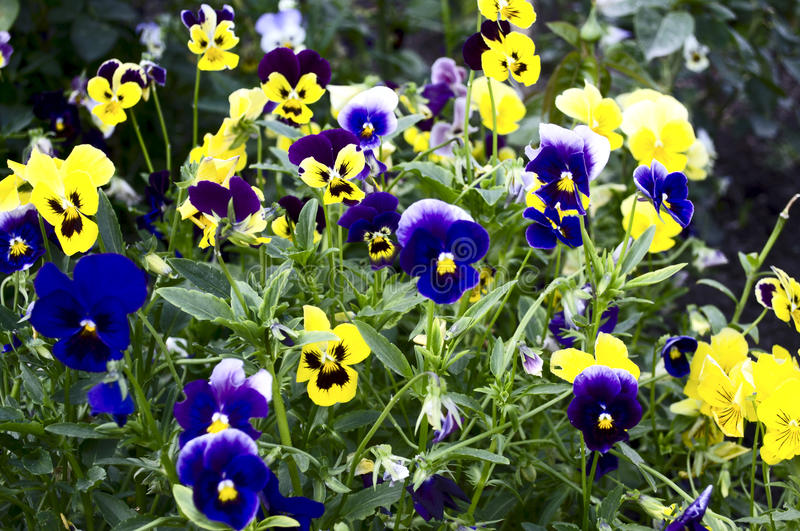 Blauwe en gele pansies stock fotografie