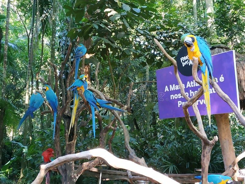 Blauwe en Gele papegaaien stock afbeelding