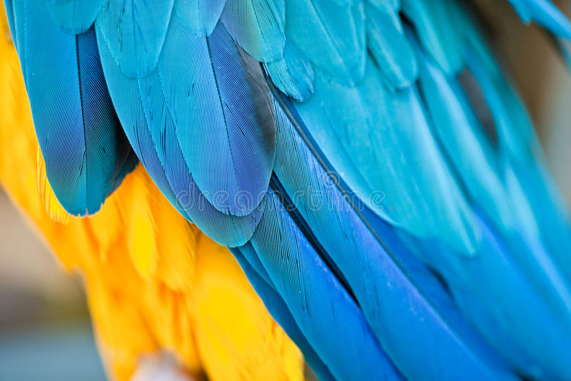 Blauwe en gele veren stock afbeelding