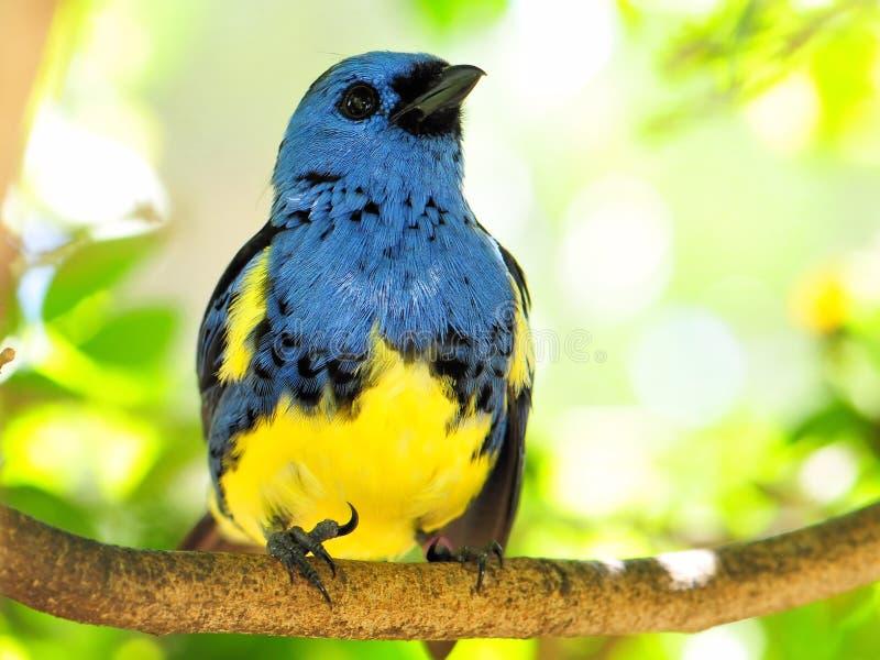 Blauwe en gele vinkvogel die omhoog eruit zien royalty-vrije stock fotografie