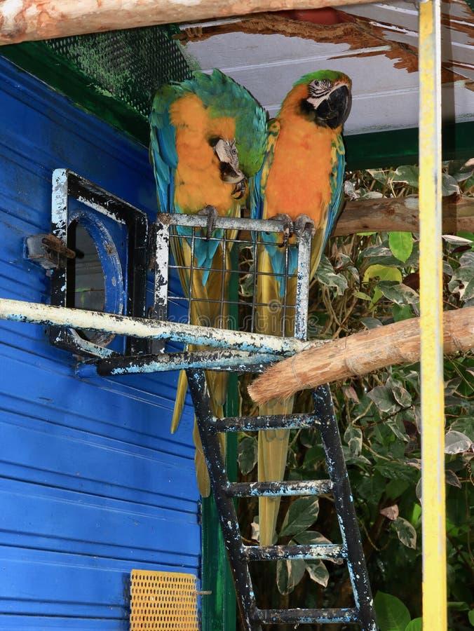 Blauwe en Gouden Ara's in het Tropische Plaatsen stock fotografie