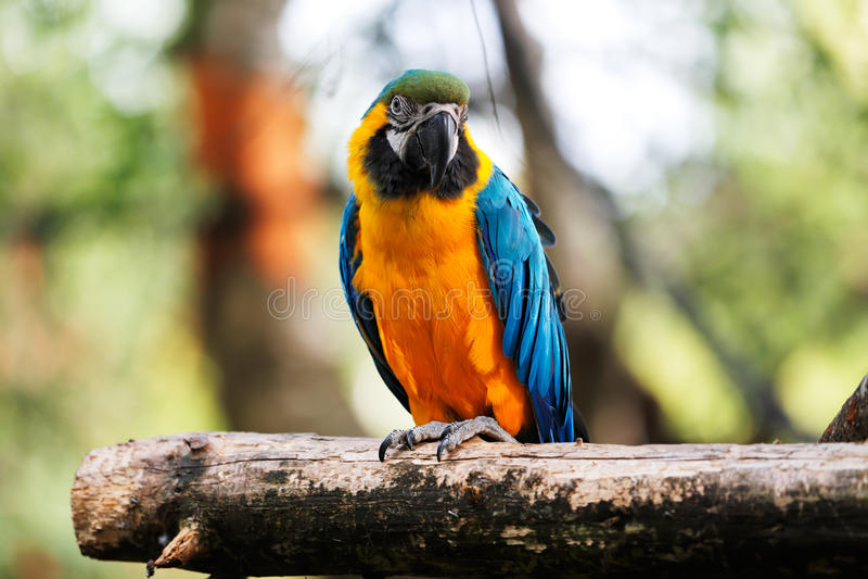 Blauwe en gouden arapapegaai stock fotografie