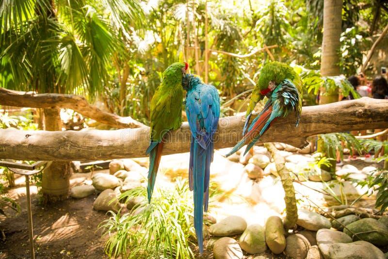 Blauwe en Groene Arapapegaaien royalty-vrije stock afbeeldingen