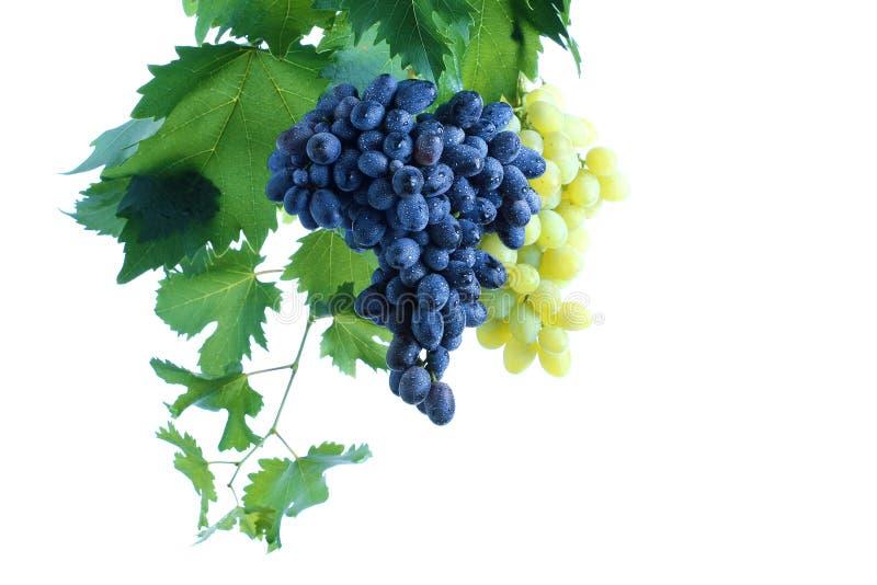 Blauwe en groene druivencluster met bladeren op wijnstok royalty-vrije stock foto