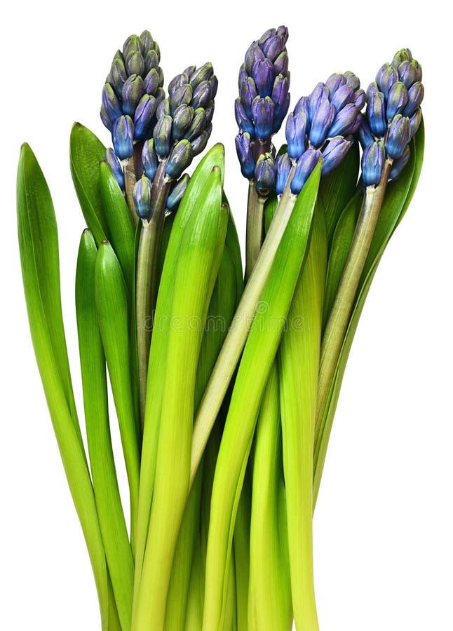 Blauwe en groene hyacintbloemen en bladeren royalty-vrije stock afbeeldingen