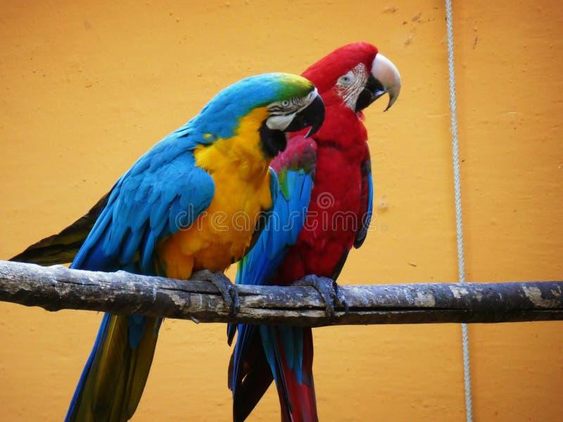 Blauwe en rode vogels op oranje Achtergrond stock afbeelding