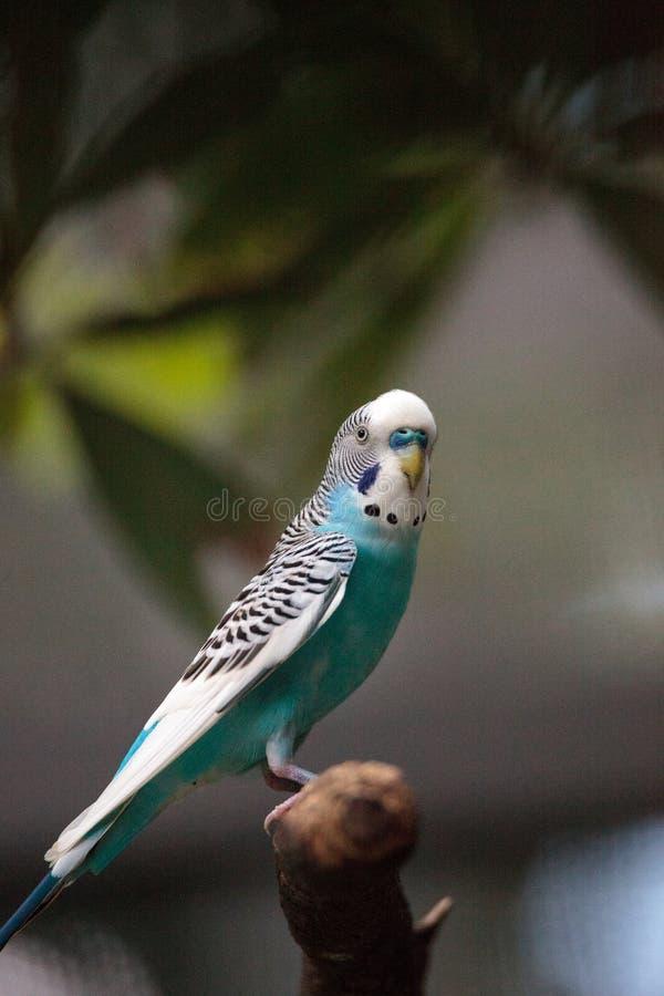 Blauwe en witte boedgerigar parkiet royalty-vrije stock foto