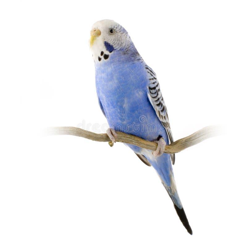 Blauwe en witte budgie stock foto's