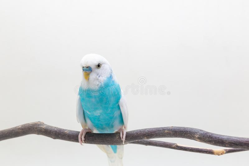Blauwe en witte budgie, Grasparkietvogel royalty-vrije stock fotografie