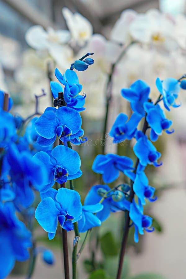 Blauwe en witte orchideeën Selectieve nadruk op blauwe orchideetak royalty-vrije stock afbeelding