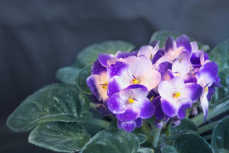 Blauwe en witte Saintpaulia royalty-vrije stock fotografie