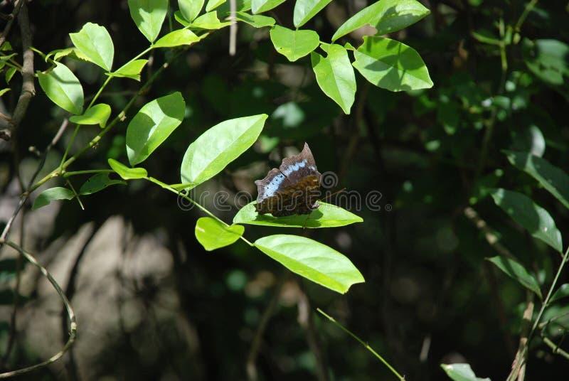 Blauwe en zwarte Vlinder op het groene blad bij het tropische bos stock fotografie