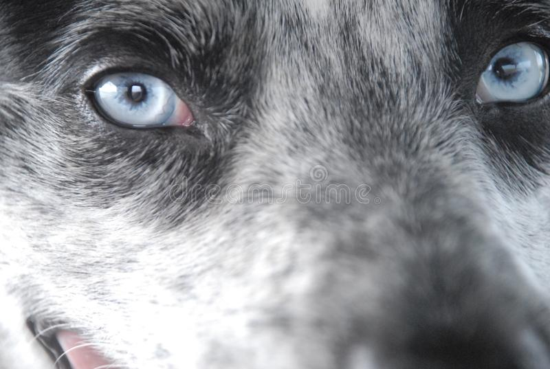 Blauwe Eyed Hond royalty-vrije stock fotografie