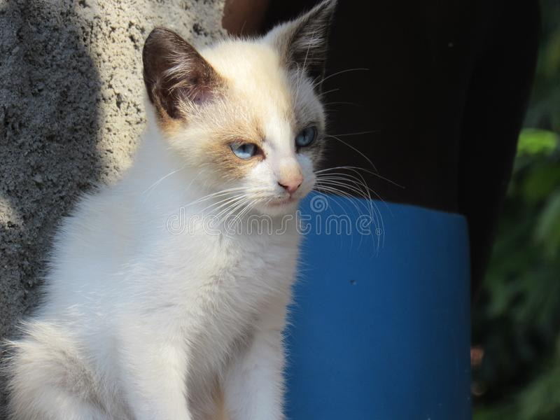 Blauwe Eyed Siamese Cat Puppy stock afbeeldingen