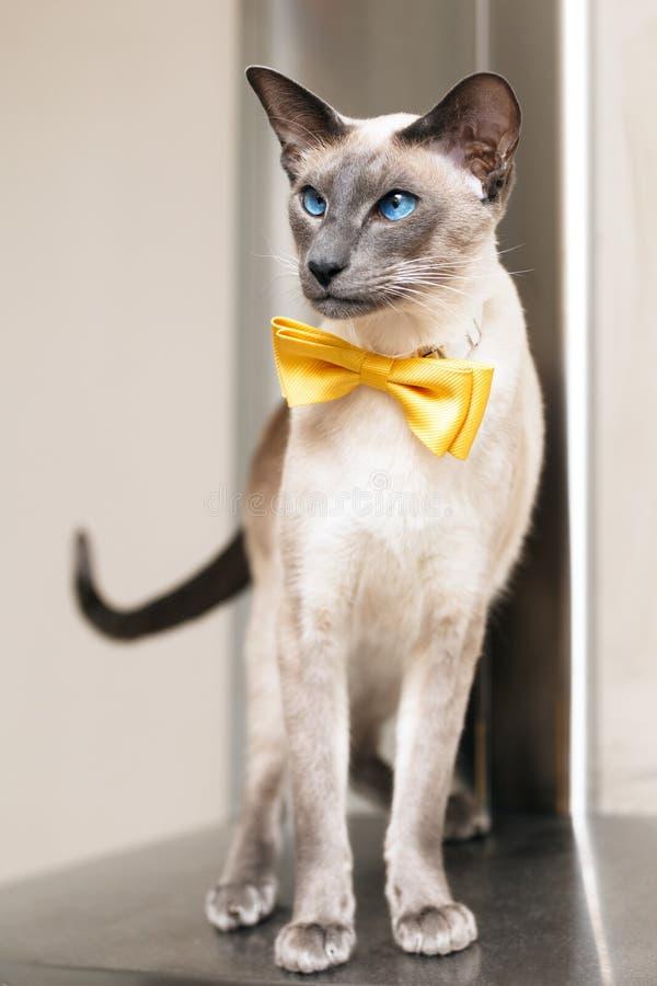 Blauwe eyed siamese oosterse kat die een gele bowtie dragen royalty-vrije stock afbeelding
