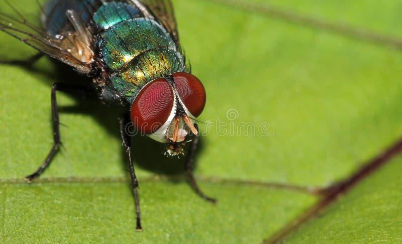 Blauwe Flessenvlieg, Calliphora-vomitoria, Lalbagh, Bangalore, Karnataka, India royalty-vrije stock afbeeldingen