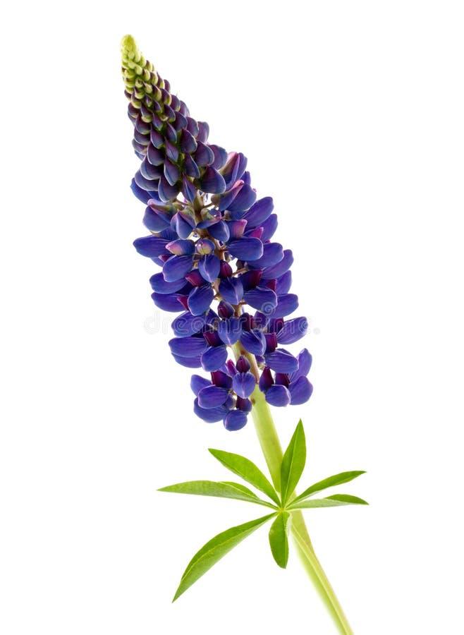 Blauwe geïsoleerde bloemlupine royalty-vrije stock foto