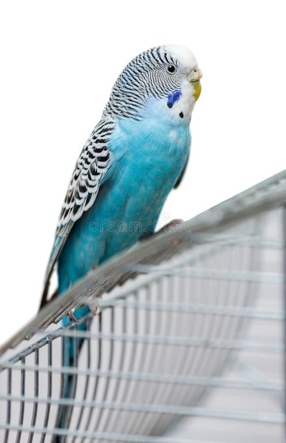 Blauwe geïsoleerde grasparkiet stock foto's