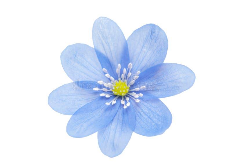 Blauwe geïsoleerdee bloem royalty-vrije stock afbeeldingen