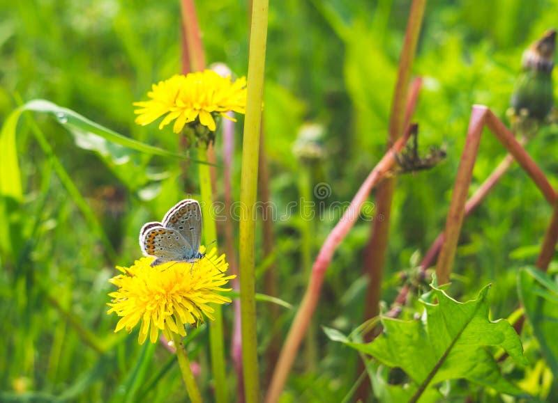 Blauwe gebiedsvlinder en de lenteweide Het leven is rijk stock afbeeldingen