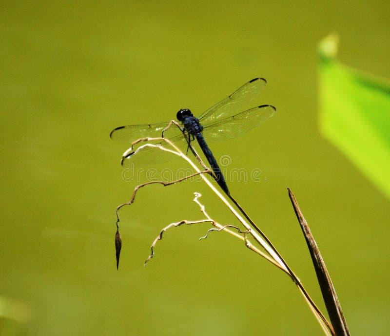 Blauwe gebouwde Libel die op een droog grassprietje in een moeras in Everglades rusten stock foto