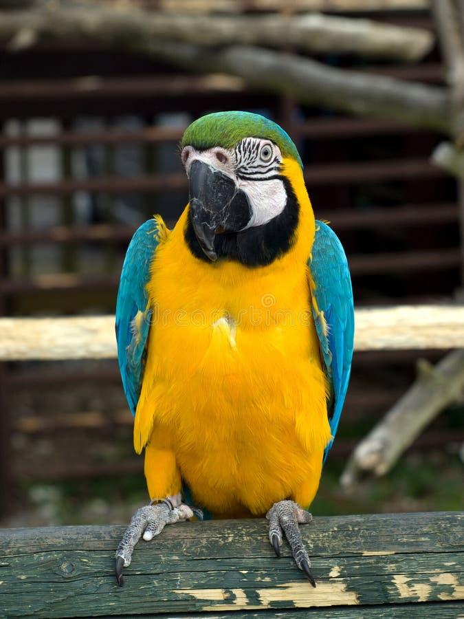 Download Blauwe, Gele En Groene Papegaai Stock Afbeelding - Afbeelding bestaande uit naughty, levendig: 10778345