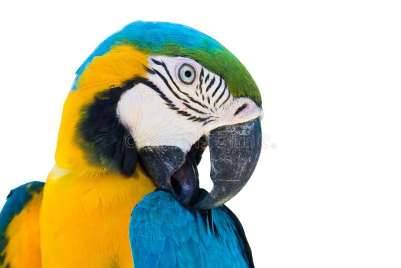 Blauwe gele geïsoleerde papegaaiara stock foto