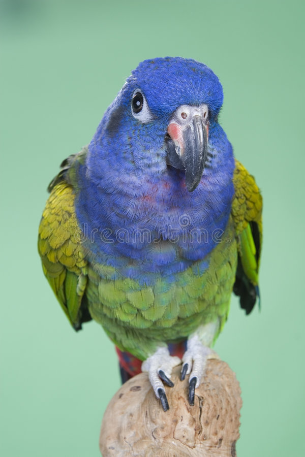 Blauwe Geleide Pionus royalty-vrije stock fotografie