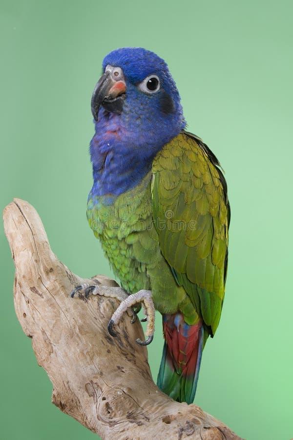 Blauwe Geleide Pionus royalty-vrije stock afbeelding
