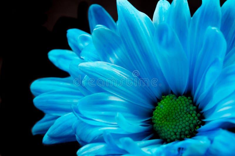 Blauwe Gerber Daisy royalty-vrije stock fotografie