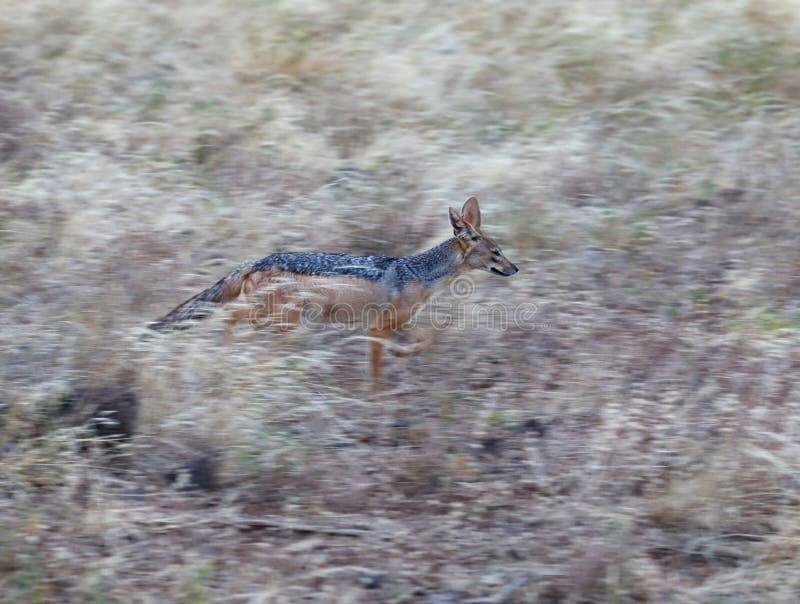 Blauwe gesteunde jakhals die het gras doornemen royalty-vrije stock foto's