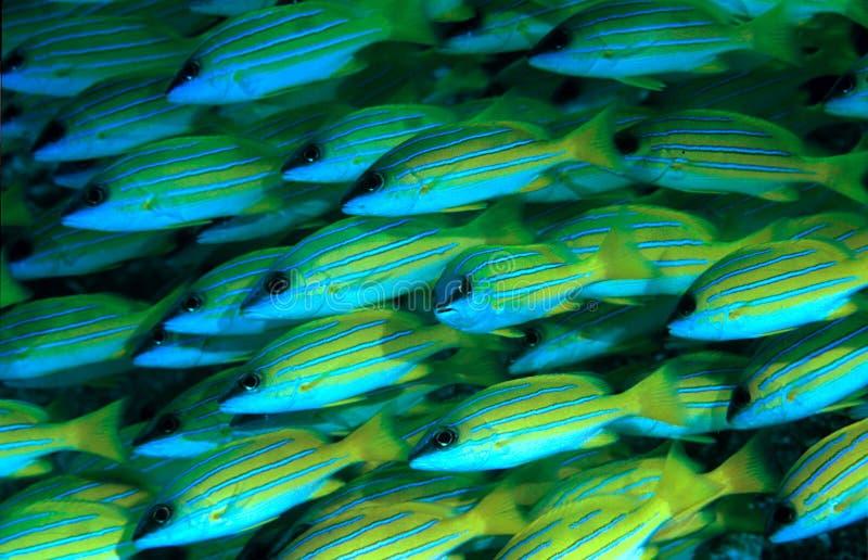 Blauwe gestripte Snappers stock foto
